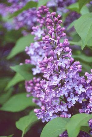 _lilac