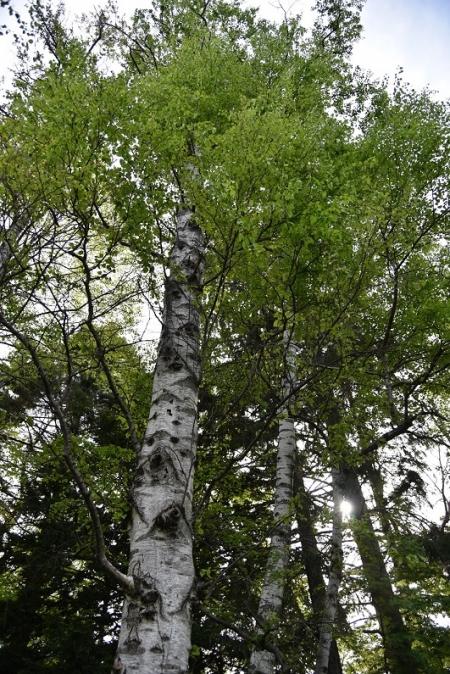 White-birch-5a