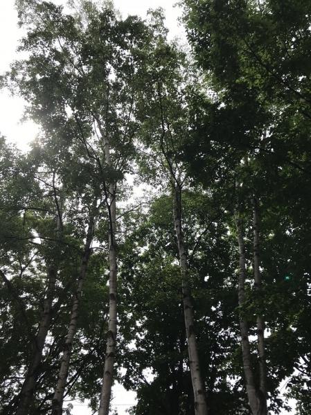 White-birch-6